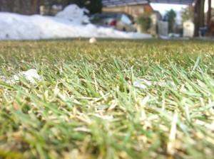 冬には枯れる高麗芝